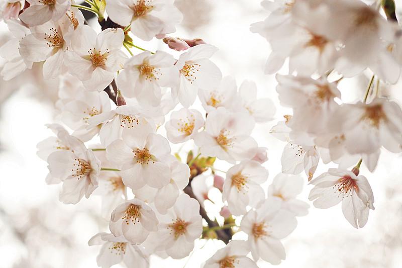 Japanese cherry blossoms (sakura)