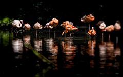 Rosaflamingos (novofotoo) Tags: augsburg bavaria bayern deutschland flamingos germany greaterflamingo natur parks phoenicopterusroseus rosaflamingo schwaben tiere vgel wasser weis zooaugsburg animals nature park water white