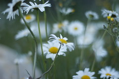 (davidsonm237) Tags: bokeh flowers white bc mcbride canada evening forest wild