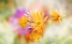 In pastel autumn. (augustynbatko) Tags: flowers rudbekia autumn nature macro pastels yellow pastel plant flower bokeh bright