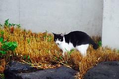 Today's Cat@2016-09-25 (masatsu) Tags: cat thebiggestgroupwithonlycats catspotting pentax mx1