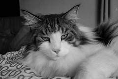 You'll find out why black and white, you know. (miyukiz4 su ood) Tags: cats cat kitten  gttino chaton gatito ktzchen gatinho