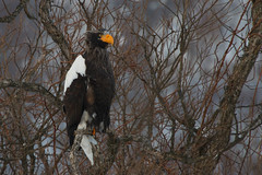 Extended Eagle - Stellers Sea Eagle, taken with a 1.4 Kenko Teleconverter on the 100-400L.