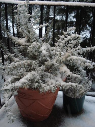 snowy rosemary
