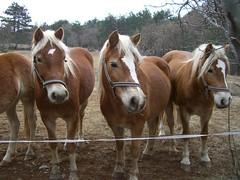STORJE 05-01-2011 (CLAUDIO 49) Tags: natura slovenia cavalli animale bosco carso docile kras razza avelignese storje