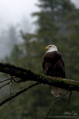 My Kingdom For a Fast/Long Lens!!! (Evan Gearing (Evan's Expo)) Tags: canada bird clouds whistler freedom us nikon bc unitedstates eagle symbol britishcolumbia bald perch nikkor 18200 d300s evangearingphotography evansexpo