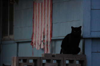 Black community cat in front of an American flag