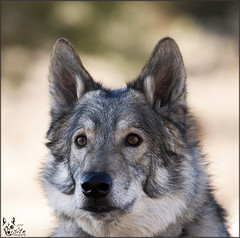 659: Another Year Older and Wiser ( Eric Osmann) Tags: dogpark thumper wolfhybrid evergreencolorado ericosmann jan2011