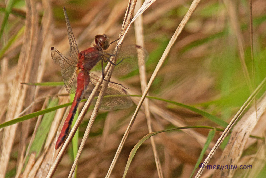 Saffron-winged Meadowhawk01.jpg