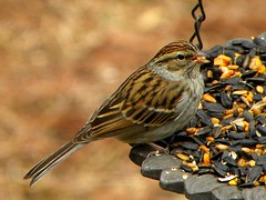 Sparrow - Another word for pretty. (ChicaD58) Tags: winter bird nature garden outdoors backyard eating seed feeder sparrow picnik chippingsparrow thewonderfulworldofbirds