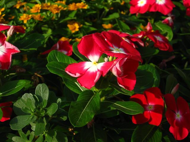 日々草(ニチニチソウ)のフリー写真素材