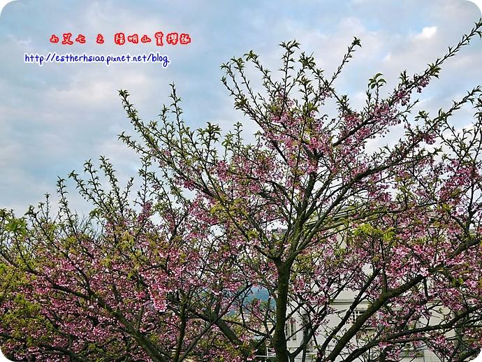 82 平菁街42巷櫻花樹