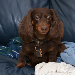 First light! (andiwolfe) Tags: emma dachshund firstlight longhairdachshund chocolateandtan