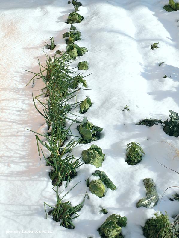 雪畑|滋賀県野洲