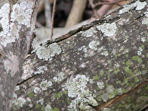 blue and green lichen