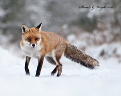 Red Fox (Stuart G Wright Photography) Tags: red fox