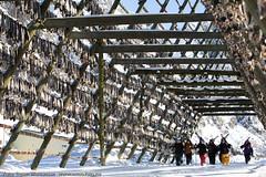 Ski & stockfish (Svinya Rorbuer) Tags: ski vinter rib lofoten fisk svinya trollfjorden