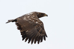 White Tailed Eagle yet again - Young one at Yakumo........