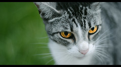 Warrior. (Joaquin Villaverde Photography) Tags: portrait pet cute animal cat photography nikon retrato kitty joaquin gato fotografia pussycat mascota tierno villaverde