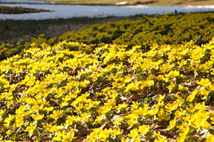 Picture 126 (pwmeyer) Tags: winter aconite