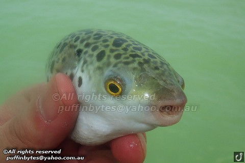 Green-spotted Pufferfish - Tetraodon nigroviridis