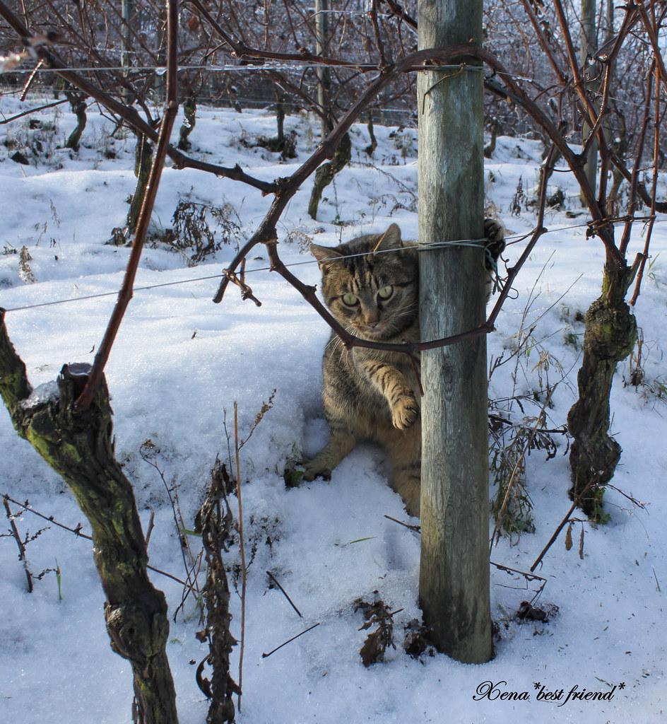Striscia in the vineyard