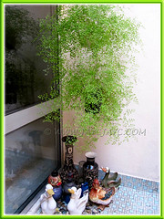 2 hanging pots of luxuriant Adiantum capillus-veneris (Southern Maidenhair Fern) at a corner of our courtyard, shot 25 Feb 2011
