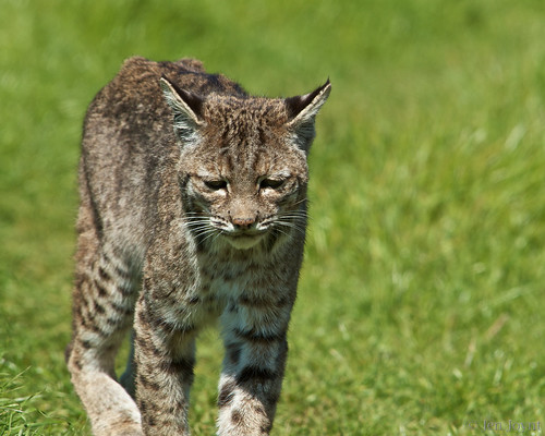 sad bobcat walk 11054
