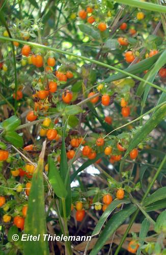 <br><br><br><br>Ejemplar de Relbún (<i>Galium hypocarpium</i>) con sus frutos en distintos grados de maduración. Registrado en Coronel, Región del Biobío.
