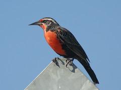 Loica (.Daniel Hernández P) Tags: aves pájaros loica
