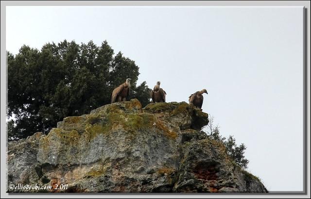 7 Buitre en Ura