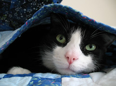 Oliver Under Quilt (Mr.TinDC) Tags: cats pets cute animals bed oliver quilt tuxedocats kitties felines blackandwhitecats cutenessoverload blackwhitecats