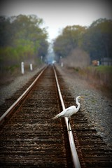 Despondent Egret (juliealicea1947) Tags: louisiana egret suicidal railroadtracks despondent suicidalegret