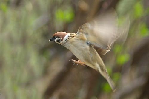 Tree Sparrow 12