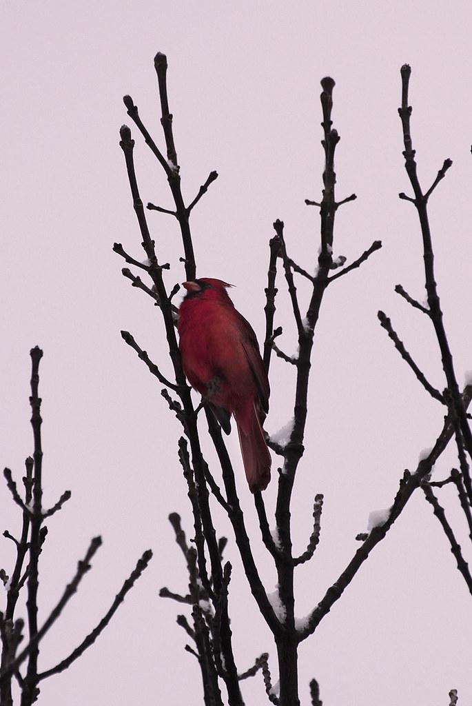 singing cardinal2