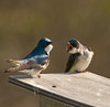 TREE SWALLOWS (sea25bill) Tags: california blue winter usa sun nature birds wildlife avian santabarbaracounty tachycinetabicolor treeswallows nestingbox