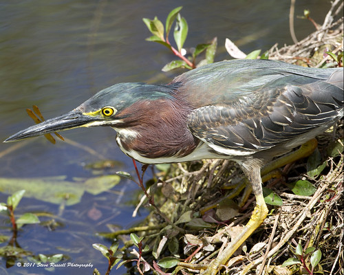 _MG_6180_030511_Little Green Heron