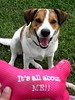 It's all about ME!! (Willow Creek Photography) Tags: dog mutt canine harley mongrel femaledog brownandwhitedog pitbullmix houndmix harleyrey kingstonreyphotography