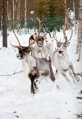 lauantai-2 (Rixatrix) Tags: winter dog snow reindeer lapland herding lapinporokoira lapinkoira reindeerherding porokoira lapponianherder poropaimennus