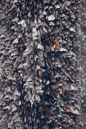 Overwintering Monarchs on a Trunk