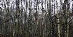 Москва. Тропарёво. (Foto Svetlana) Tags: landscape birches осень лес пейзаж ноябрь берёзы тропарёво скворечники