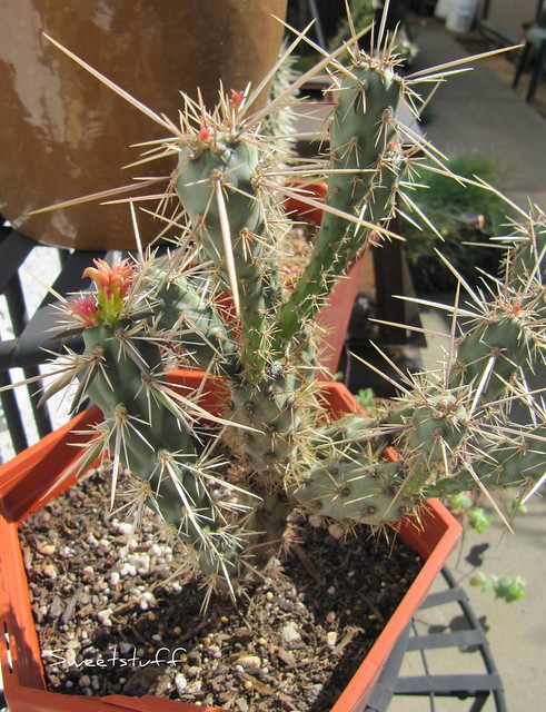 Cholla spines....Ouch!