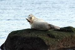 Waving Seal (sbdriver1) Tags: ocean sea water animals beaches seals statenisland mountloretto
