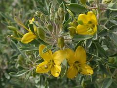 Bladder Pod 02 (Tom Hilton) Tags: color wildflowers isomerisarborea isomeris capparaceae windwolvespreserve