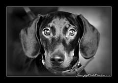 Excuse me Madam, may I take a picture of her dog ? (dClaudio [homofugit]) Tags: street bw italy dog contrast nikon padua d90 mygearandme mygearandmepremium mygearandmebronze mygearandmesilver