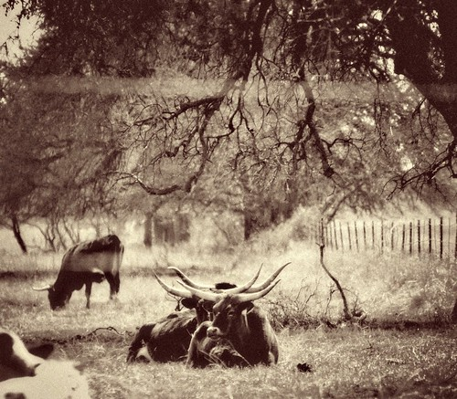 LonghornsVintage