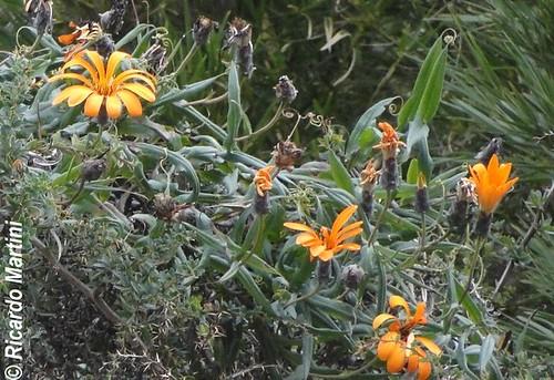 H�bito de clavel del campo (<i>Mutisia decurrens</i>), donde se aprecian los zarcillos foliares caracter�sticos y sus frutos en diferentes grados de maduraci�n y diseminaci�n de sus semillas. Tomada en Quillelhue, Regi�n de la Araucan�a.