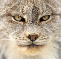 Close-Up With The Lynx (affinity579) Tags: animal closeup nikon quebec wildlife lynx ecomuseum naturesfinest canadianlynx d90 supershot specanimal natureselegantshots