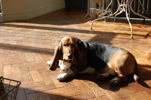 Mulberry the Bassett Hound