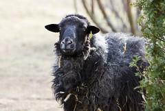 Our curious neighbor - Unser neugieriger Nachbar (petnobis) Tags: nature animal deutschland sheep natur brandenburg haustier tier schaf domesticanimal neuenhagenbeiberlin wiesenstraseneuenhagenbeiberlinbrandenburgdeutschland